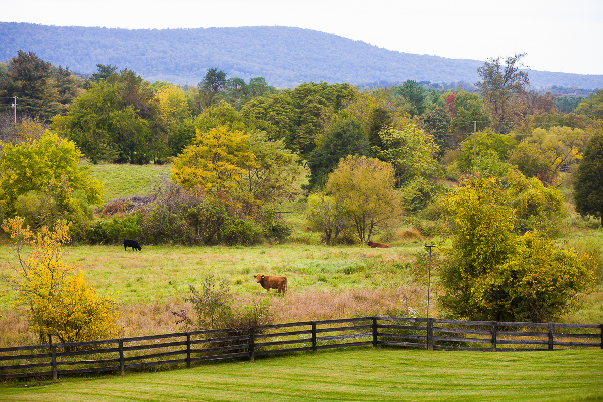 silverbrook farms in purcellville virginia in autumn with it's beef cattle and rolling mountains