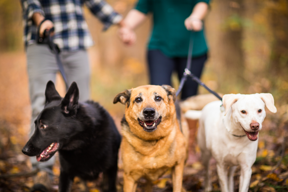 three dogs walking their owners during their family portrait session showing tips to incorporate dogs into family portrait sessions