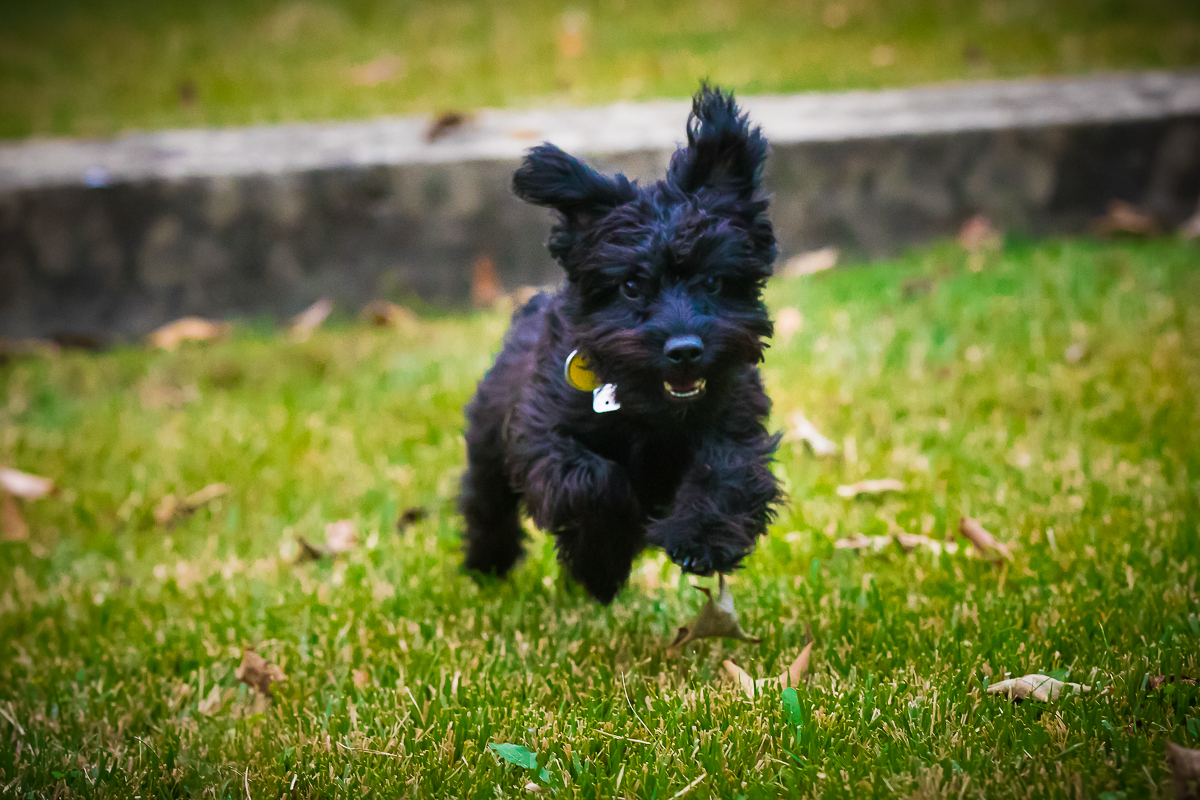 adorable black yorkie poo hopping a tiny wall in his parents backyard in pennsylvania