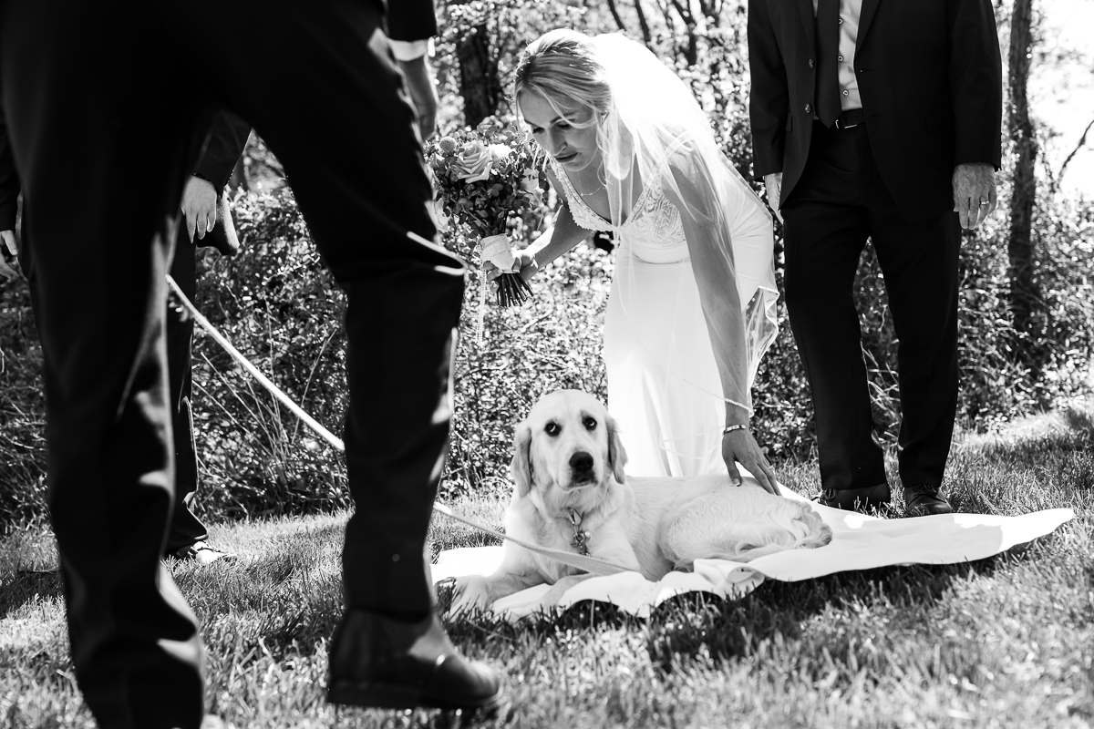 golden retriever puppy laying on bride's dress at camp wright wedding ceremony in black and white